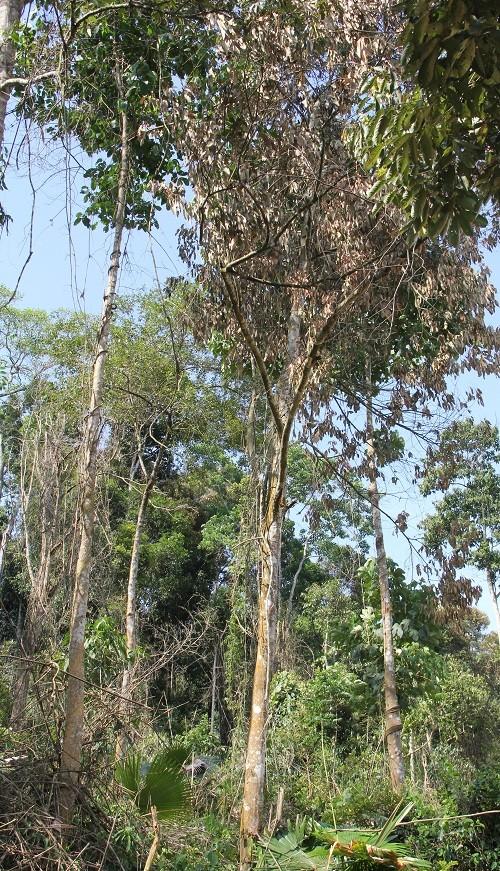 """""""Ken cây"""" hình thức biến đất rừng thành đất trống đồi trọc"""